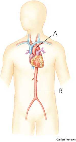 Aorta dictionary definition | aorta defined