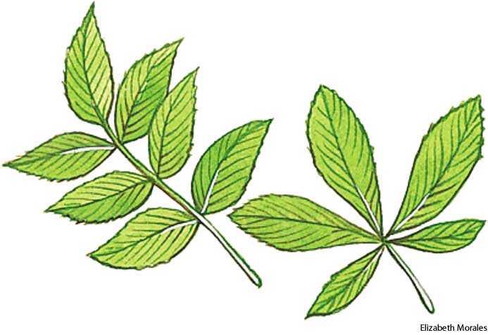 compound leaf