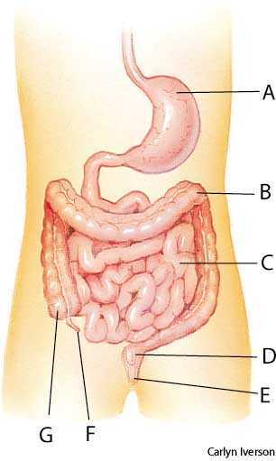 Intestine Dictionary Definition Intestine Defined