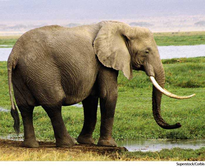 elephant dictionary definition